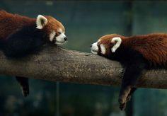 image de panda roux - Bing Images