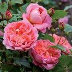 Boscobel - David Austen roses --new intro -- IN ENGLAND 2012-2013    I WANT!