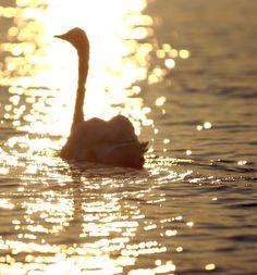 Swan at sunset on Long Island, NY