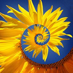 Sunflower spiral by Mike McCusker LRPS and his Nikon, via Flickr