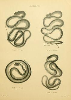 Radiographs of snakes. Les Ophidiens de Madagascar. Dr. E. Jourdran, 1904.