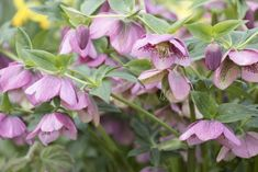 Spânzul: misterioasa plantă anticancerigenă din România Salvia, Garden, Plant, Garten, Sage, Lawn And Garden, Gardening, Outdoor, Gardens