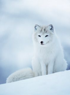 Beautiful arctic wild world! Beautiful arctic fox ◇◆◇◆◇◆◇  /) /) ฅ( Nature Animals, Animals And Pets, Beautiful Creatures, Animals Beautiful, Cute Fox, Tier Fotos, Wild Dogs, Cute Baby Animals, Stuffed Animals