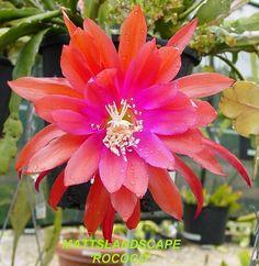 Epiphyllum hybrid 'Rococo'