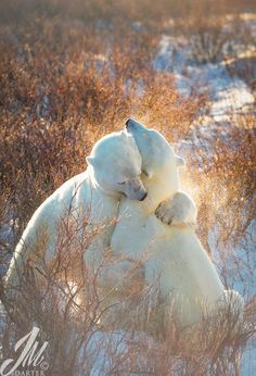 Two polar bears spar in the willows on the shores of the Hudson Bay near Churchill, Canada.   Photograph - Polar Bears Sparring.  By J. Michael Darter on 500px.im