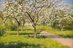 Johan Krouthén(1858-1932) -  Gårdsidyll med blommande äppleträd och höns, 1916: Stockholms auktionsverk (600x900)