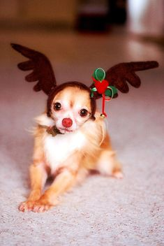 Reindeer Chi♥ ♥ Yuppypup.co.uk provides the fashion conscious with stylish clothes for their dogs. Luxury dog clothes and latest season trends, Dog Carriers and Doggy Bling. Next Day Delivery. Please go to http://www.yuppypup.co.uk/