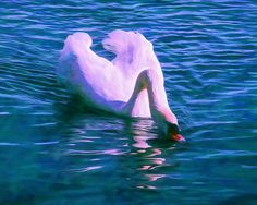 Swan Quench Fine Art Prints For Sale By Priya Ghose - A mute swan bends its long graceful neck, dipping its beak into the blues and teals of the rippled water at a lake.