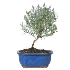 Mini Lavender Tree