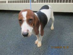 #OHIO #URGENT ~ Dottie IDA003961 is a Spayed 2yo Bagle [[ Basset / Beagle ]] mix. Dottie is a very sweet and fun loving dog. She can be a bit vocal at times and gets along great with other dogs! Ask one of the staff to get this little girl out to enjoy her company! She' in need of a loving #adopter / #rescue at LUCAS COUNTY DOG WARDEN 410 South Erie St #Toledo OH 43602 dogwarden@co.lucas.oh.us  P 419-213-2800