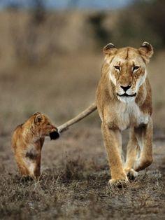 百獣の王ライオンも子どもの時はお母さんに甘えん坊 - おもしろ動物園