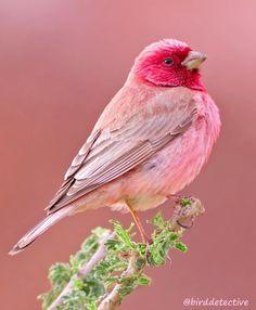 - Birds - Have you ever seen a pink bird? 😍❤️A beautiful pink colour! Have you ever seen a pink bird? 😍❤️A beautiful pink colour! Rosefinch photo by Cute Birds, Pretty Birds, Exotic Birds, Colorful Birds, Exotic Animals, Colorful Animals, Tropical Birds, Exotic Pets, Most Beautiful Animals