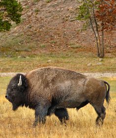 #american #buffalo  #animals #wildlife