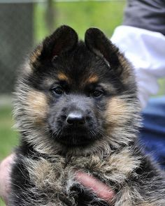 German Shepherd puppy.....