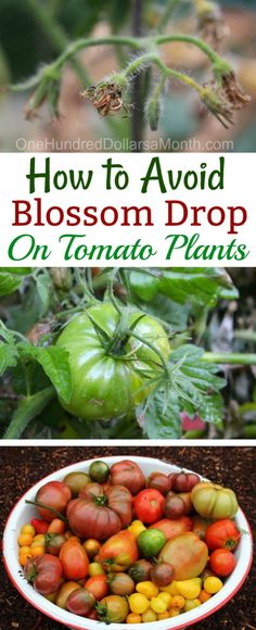 Growing Tomatoes, Tips for Growing Tomatoes, Blossom Drop, Blossom Drop Tomatoes, Gardening 101