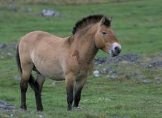 Przewalski Horse. It's still debated if Przewalski, the last real wild horse is of the same species as the fdomesticated horse or a species of its own. It has some chromosome differences but can produce fertile offspring when crossed with domesticated horse. Przewalski lived on the steppes of Mongolia but became extinct in the wild in 1966. Luckily there were Przewalskis in the zoos around the world and now some horses have been reintroduced to their native habitat.