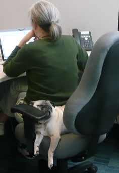 Our pug, Pugsley, would sleep behind me in my office chair as I wrote. Pugs Will Sleep Anywhere!