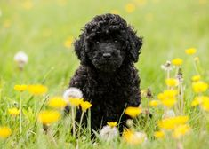 black miniature poodle | Black Miniature Poodle