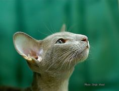 https://flic.kr/p/amS4FE | JetSet Jamal, side view | Male Oriental Shorthair, lilac (OSH c). Scandinavian Winner 2011.
