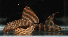 Panaqolus alenquer red tiger