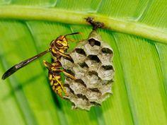 Avispa en su nido. National Geographic.