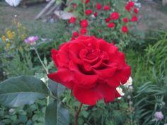 Роза ЧГ Черная магия Black Magic во всей красе.