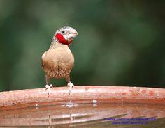 Amadina fasciata  Cut-throat Finch