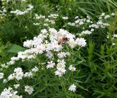 Virginia Mountain Mint - attractive to pollinators. Tall, moist soil in partial shade. Can tolerate sun, but will slow growth.