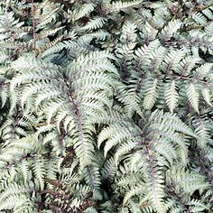 Spring Hill Nurseries in. Pot Silver Foliage Burgundy Lace Japanese Painted Fern (Athyrium) Live Potted Perennial Plant - The Home Depot Shade Flowers, Shade Plants, Deciduous Trees, Trees And Shrubs, Australian Tree Fern, Lady Fern, Japanese Painted Fern, Hosta Varieties, Spring Hill Nursery