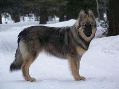 American Alsatian, developed from Alaskan Malamute, German Shepherd, English Mastiff, Anatolian Shepherd and Great Pyrenees lines.