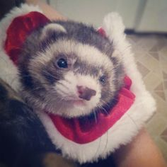 Clyde our Christmas ferret LOL she hates me forever.