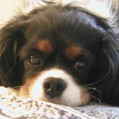 Yes, I'll take you home now. All you had to do was ask. Oh, you did ask. I'm sorry I wasn't listening. Pictures of Cavalier King Charles