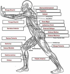 BODY MECHANICS Lots of information about the muscular system, including a labeled diagram of the muscles. Description from pinterest.com. I searched for this on bing.com/images