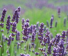 Lavender Planting Guide