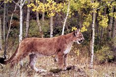 """Mountain lion in yellow aspens. """"Mountain lions are rather secretive, consequently, most visitors are unaware of their existence in Yellowstone. Lions probably live throughout the park in summer."""" Photo #42 by WL Miller / NPS"""