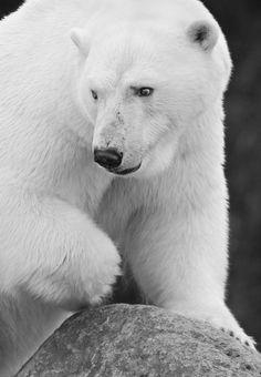 polar bear, by maxime riendeau