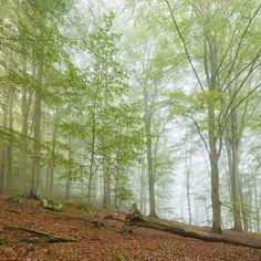 Swedish Beech Forest III
