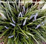 Festuca glauca blue fescue elijah blue is a hardy dwarf for Ornamental grasses that stay green all year