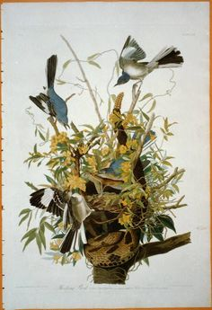 Northern Mockingbird (Mimus Polyglottos), Plate Xxi, from 'The Birds of America' Print by John James Audubon Mocking Birds, Audubon Birds, Audubon Prints, Kunst Poster, Birds Of America, John James Audubon, Plate, Bird Drawings, Pen And Wash