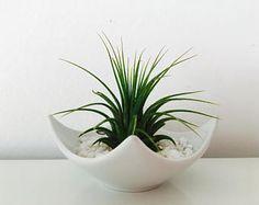 Air plant - tillandsia - terrarium - decoration