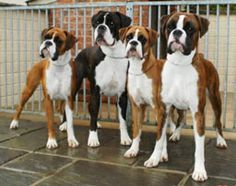 """boxer family... they all have that same """"What the hell is going on over there?"""" look!"""