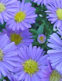 Asters: Pinch back the tops by 6-8 inches at least once during the summer, to create a bushier plant and to prolong the fall bloom. Pinching must be done prior to mid July,