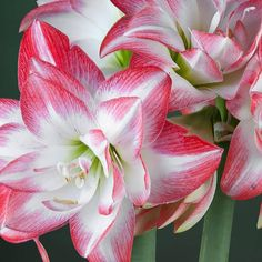 AMARYLLIS BLOSSOM PEACOCK It produces full, double form flowers! A blend of pure Christmas colors of crisp white and soft red,
