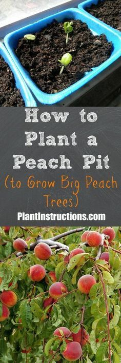 Grow Vegetables Grow your very own peach tree using only a peach pit! - Today we'll show you how to plant a peach pit to successfully grow a peach tree and enjoy the fruits of your labor. All you need is a peach pit!