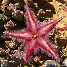 Stapelia gariepensis flowering in habitat by Martin_Heigan, via Flickr