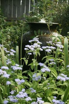Blue Mistflower (Conoclinium coelestinum). This relative of Joe Pye Weed blooms in late summer into fall, reaching 2 to 4 feet tall. Thriving in sun to partial shade in medium soil, this short plant will run and spread moderately fast. Diverse insects feed on the nectar, so it's great for a butterfly garden.