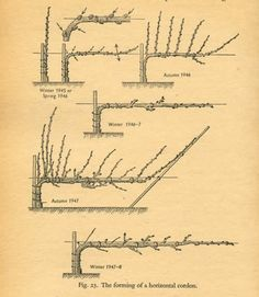 Steps involved to create a Belgian Fence #espalier. (Appears that not all the links work.)