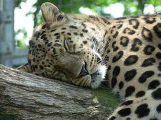 Ces photos de félins sont sublimes... Mais figurez-vous que bientôt ces animaux risquent de ne plus exister ! Le léopard de l'amour : il porte bien son nom, vous ne trouvez pas ? Figurez-vous qu'ils ne sont plus que 30 à travers le monde...