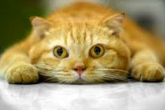 Jimmy Leo orange cat - Pesquisa Google