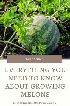how to grow melons from seed in containers vegetable garden homesteading permaculture organic in rows #containervegetablegardening
